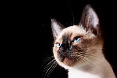 Siamese kitten. Siamese cat on a black background Stock Images