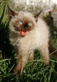 The siamese kitten. The little siamese hissen kitten Royalty Free Stock Image