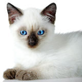 Siamese kitten Stock Photos