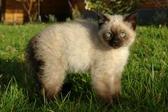 The siamese kitten. On the grass stock photo