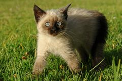 The siamese kitten. On the grass royalty free stock image