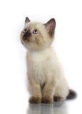 Siamese kitten. Isolate on white royalty free stock photography
