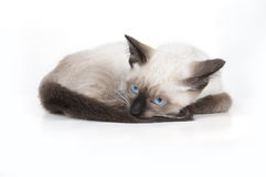 Siamese kitten Royalty Free Stock Photo