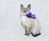 Siamese Kitten Royalty Free Stock Photos