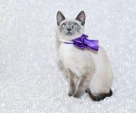Siamese Kitten Royalty Free Stock Photos