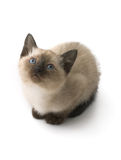 Siamese kitten. Isolated on white Stock Photography
