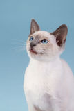 Siamese kitten against a blue background. Siamese kitten sitting against a blue background Royalty Free Stock Image