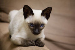 Siamese kitten. Beautiful Siamese kitten with bright blue eyes royalty free stock images
