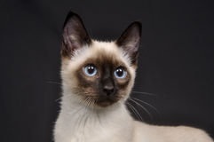 Siamese kitten on black Royalty Free Stock Photo