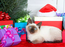 Siamese kitten with blue eyes laying comfortably next to under a Christmas tree Royalty Free Stock Images