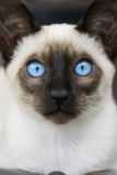Siamese kitten blue eyes. A seal point Siamese with beautiful big blue eyes royalty free stock photo