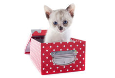 Siamese kitten in box Royalty Free Stock Photo