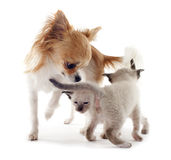 Siamese kitten and chihuahua Royalty Free Stock Images