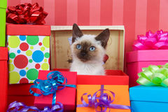 Siamese kitten in christmas presents Royalty Free Stock Image