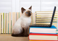 Siamese kitten with computer Stock Images