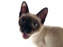 Siamese kitten crying Royalty Free Stock Image