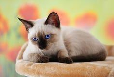 Siamese kitten Stock Photos