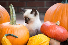 Siamese Kitten with Fall Produce Royalty Free Stock Photos