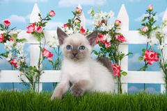 Siamese kitten in a garden Royalty Free Stock Photo