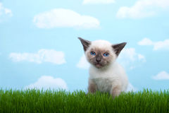 Siamese kitten on grass Royalty Free Stock Photography