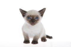 Siamese kitten isolated on white Stock Image
