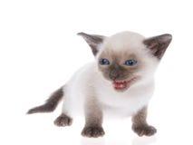 Siamese kitten isolated on white Stock Photos