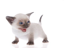 Siamese kitten isolated on white Royalty Free Stock Photography