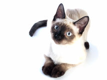 Siamese kitten laying Stock Images