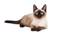 Siamese Kitten Laying Lookign Forward Royaltyfria Bilder