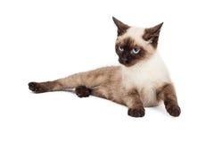 Siamese Kitten Laying Looking som sid Fotografering för Bildbyråer