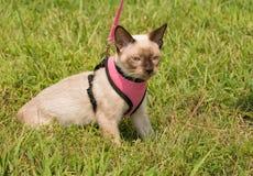Siamese kitten in a leash Stock Photos