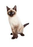 Siamese Kitten Lifting Paw Looking Forward Arkivbild