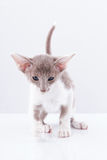 Siamese kitten Stock Photo