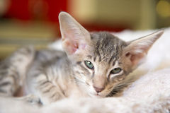 Siamese kitten Royalty Free Stock Photography