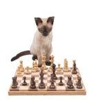 Siamese kitten looking across a chessboard Royalty Free Stock Photos