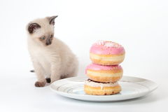 Siamese kitten looking Royalty Free Stock Photo