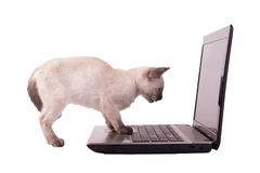Siamese kitten looking at a laptop screen with her paws on the mouse pad Stock Photography