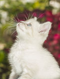 Siamese Kitten Looking Up Royalty Free Stock Photo