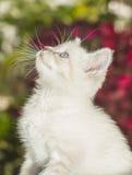 Siamese Kitten Looking Up Royalty Free Stock Photo