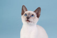 Siamese kitten looking up Stock Image