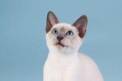 Siamese kitten looking up Stock Image