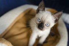 Siamese Kitten Looking Up Stock Images