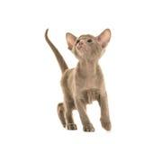 Siamese kitten looking up Stock Photos