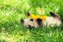 Siamese kitten lying on the grass Stock Photos