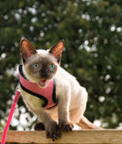 Siamese kitten meowing. While balancing on side of a wooden bench, in a pink harness and leash Royalty Free Stock Images