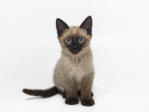 Siamese kitten 2 months old. 2 month old siamese kitten sitting on the white background Royalty Free Stock Images