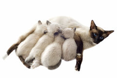 Siamese kitten and mother Stock Photos