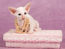 Siamese kitten with pearls on pink gift box Stock Image
