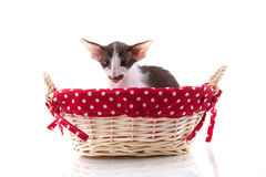 Siamese kitten in picnic basket Royalty Free Stock Images