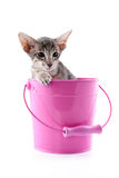 Siamese kitten in pink bucket Royalty Free Stock Photography